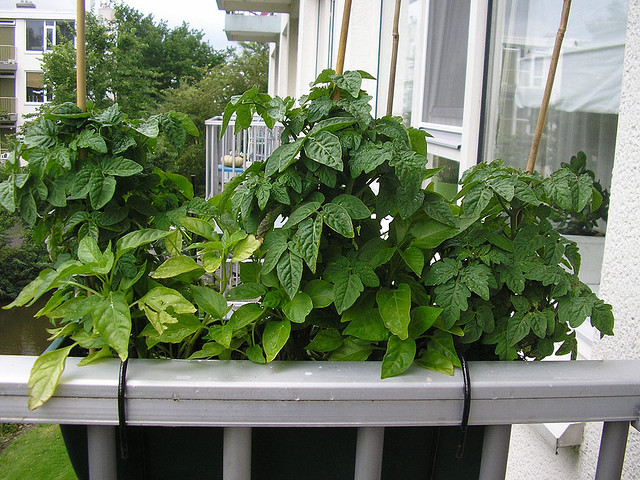 Urban gardening on an apartment balcony (Photo Credit: Sint Smelding)