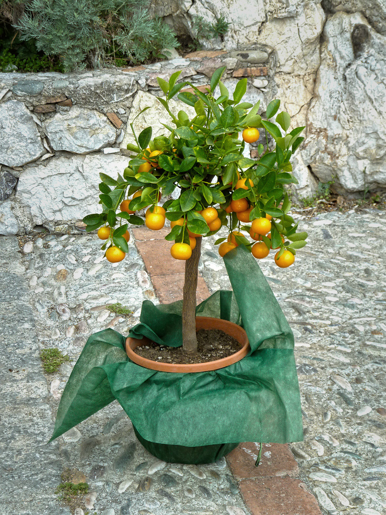 Dwarf orange tree (Photo Credit: Alex)