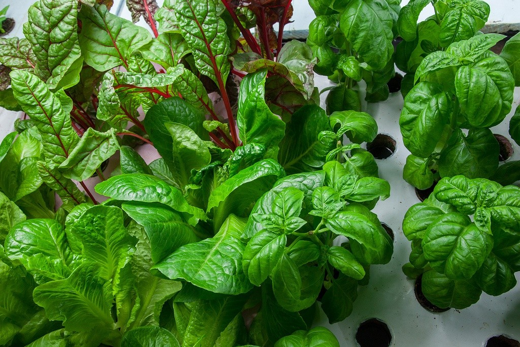 Greens grown with aquaponics (Photo Credit: Plant Chicago)