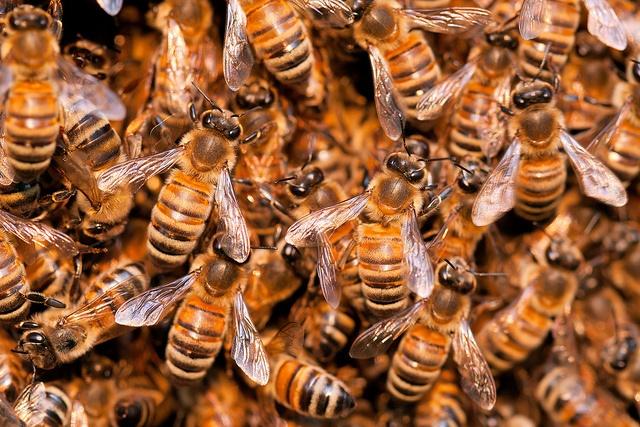 Honey Bee Swarm (Photo Credit: Umberto Salvagnin)