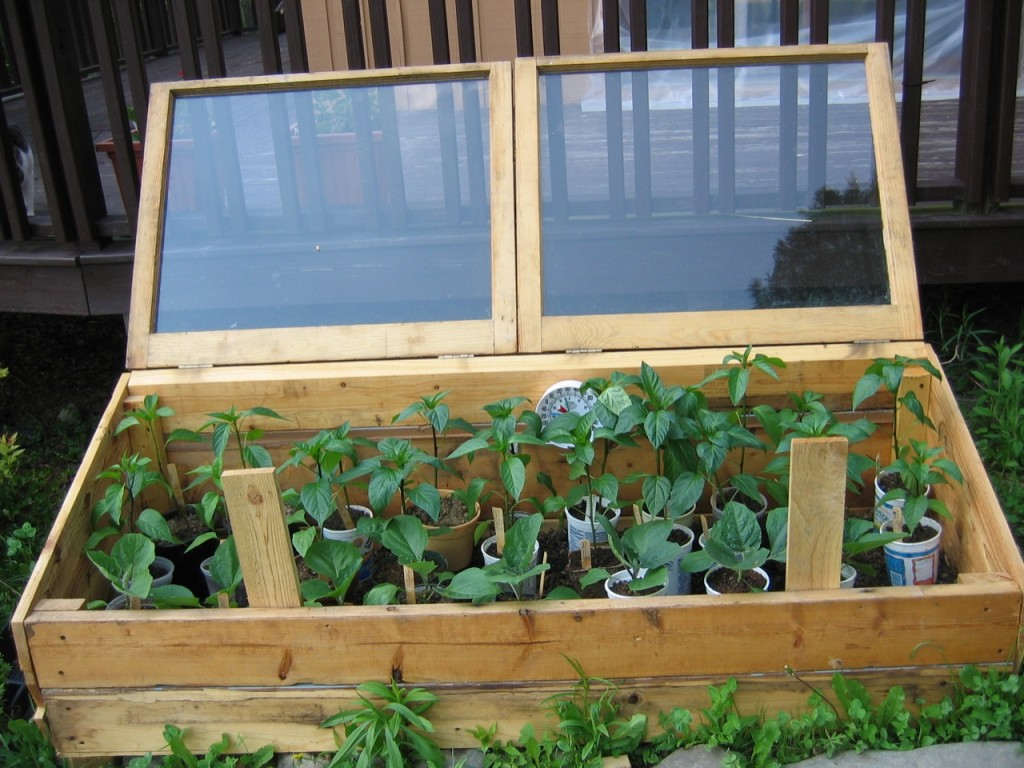 Cold Frame with Peppers (Photo Credit: inkandpen)