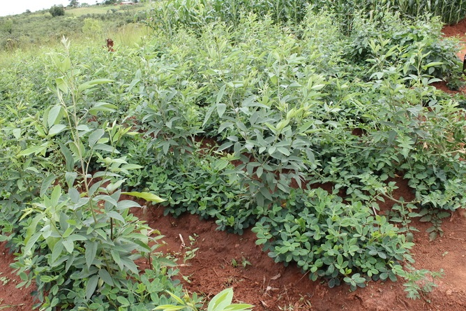 Mixing it up: a field of pigeonpea, a shrub that produces peas and improves soil as well as fuelwood, along with peanuts in March 2014 in Malawi. (Photo Credit: Carmen Bezner Kerr)