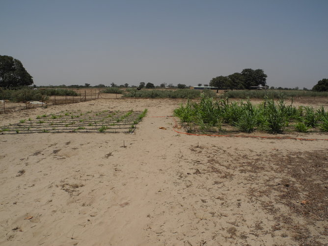 Millet grown for hydraulic lift tracer study under irrigation midseason 2014 without shrubs (left) with shrubs (right). (Photo Credit: Nathaniel Bogie)