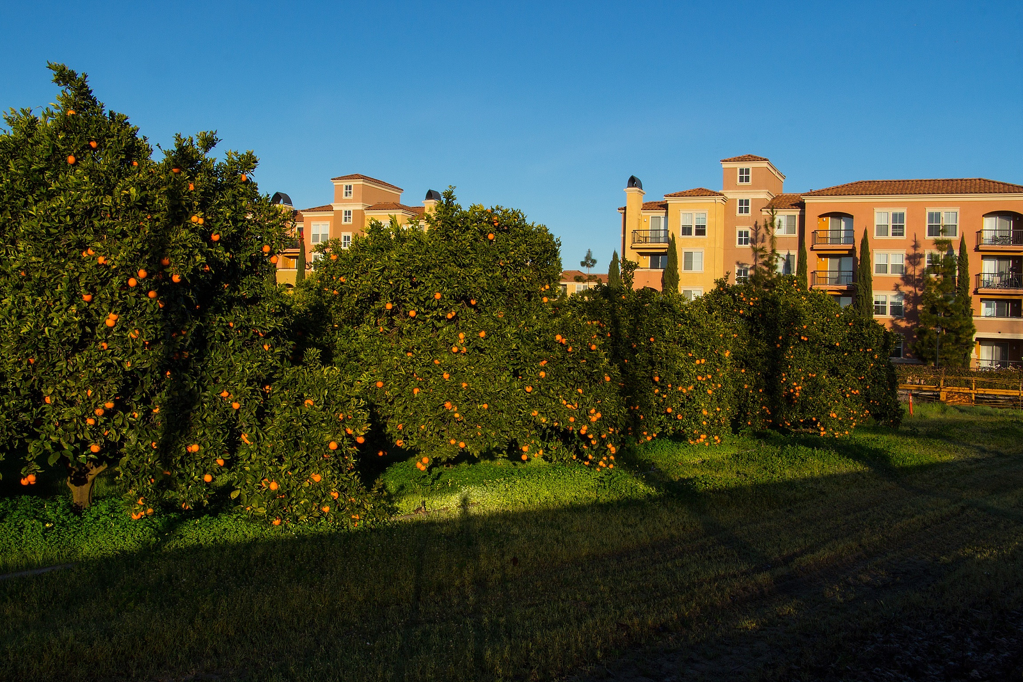 Urban orange farm in San Jose (Photo Credit: Don McCullough)