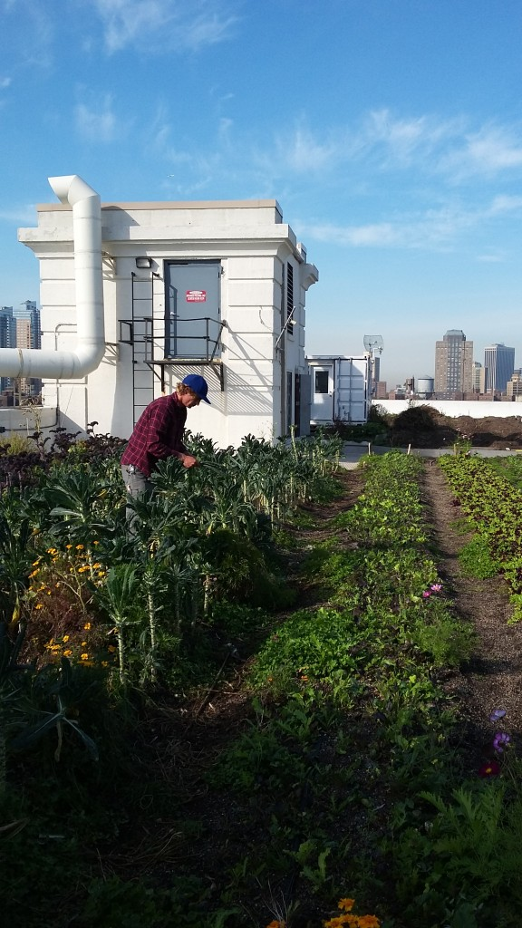 Farmer tending crops at Brooklyn Grange