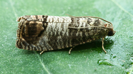 The codling moth, a nonnative insect, destroys up to 10 percent of the crop in some walnut orchards.Photo by Seabrooke Leckie (Flickr/Creative Commons)