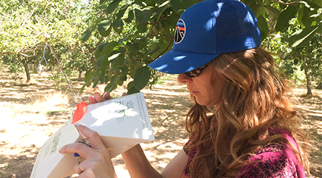 Katherine Ingram inspects a codling moth trap to assess the presence of the pest at one of her study sites. (Photo Credit: Susan Moran)