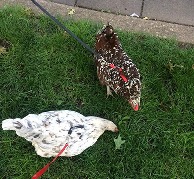 Two leashed hens (Photo courtesy of Grow Pittsburgh)