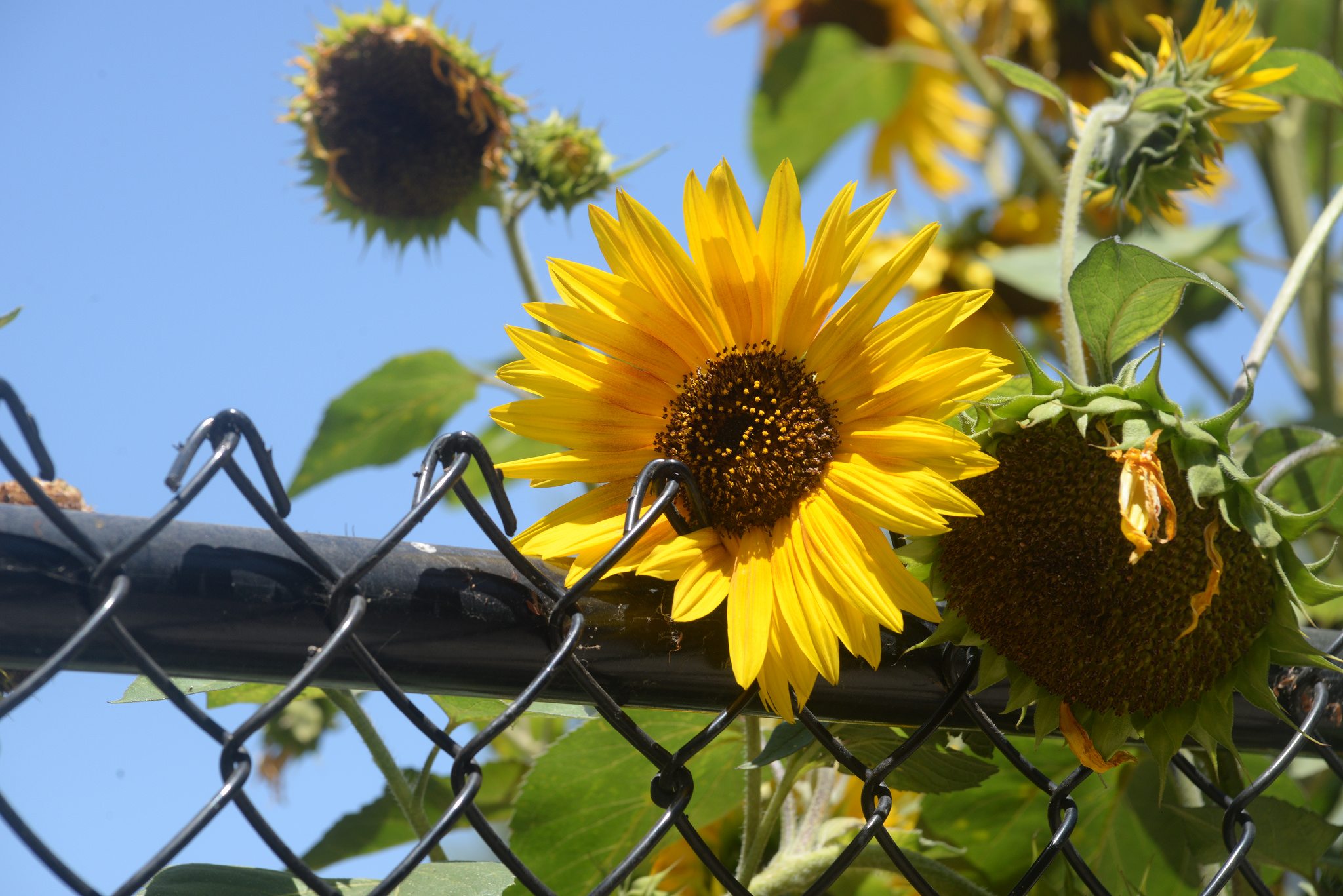Sunflower in a garden on the San Diego City College campus (Photo Credit: Paul Sullivan)