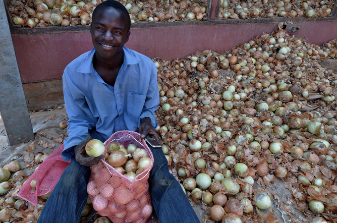 A young farmer selecting onion in Lusaka, Zambia. Sub-Saharan Africa should get more young people involved in agriculture. Shutterstock