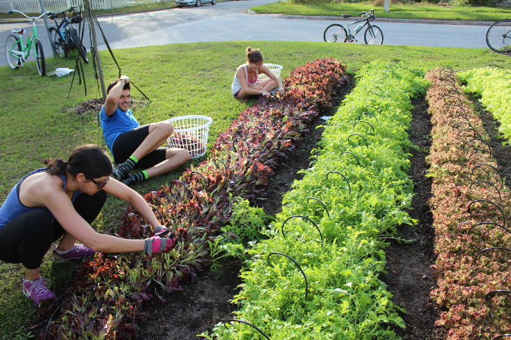 Fleet Farmers sharing the task of harvesting greens. | Photo (CC BY-SA): Fleet Farming