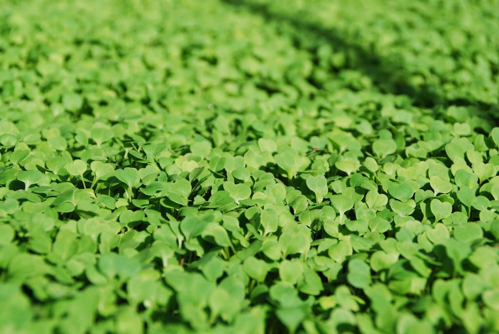 Microgreens forever! (Photo Credit: Suzie's Farm)