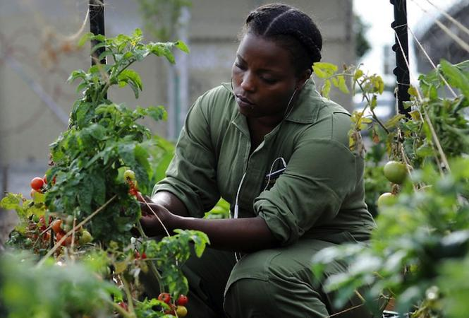 Farmer and former prisoner Gaquayla Lagrone tends to the tomatoes at West Oakland Farms. Photo: Michael Short / San Francisco Chronicle