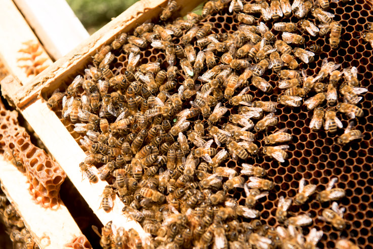 The Australian bee population is worldwide the last one not affected by the Varroa mite. | Photo (CC BY-ND): Wesley Nel