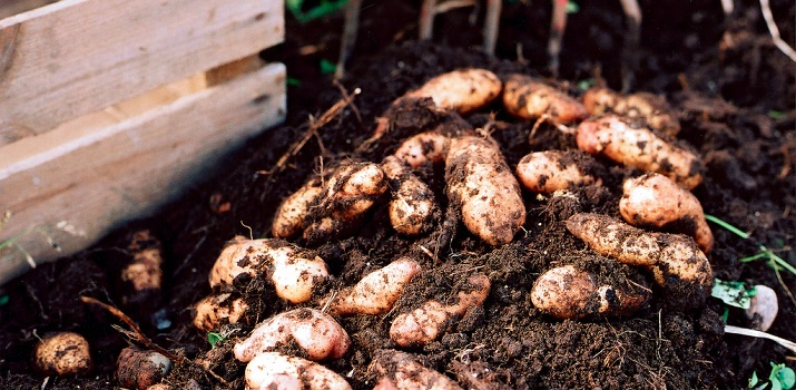 Freshly dug tubers! (Photo Credit: Skånska Matupplevelser)