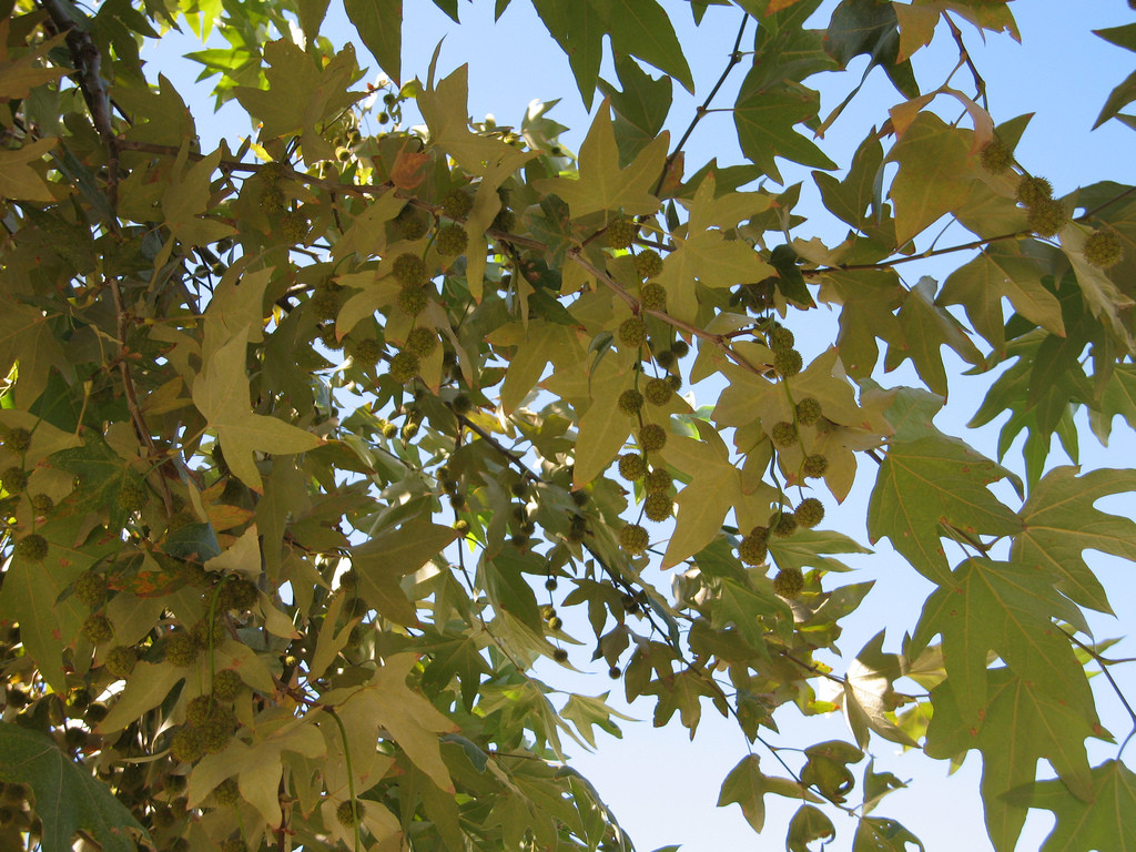 California Sycamore (Photo Credit: miheco)