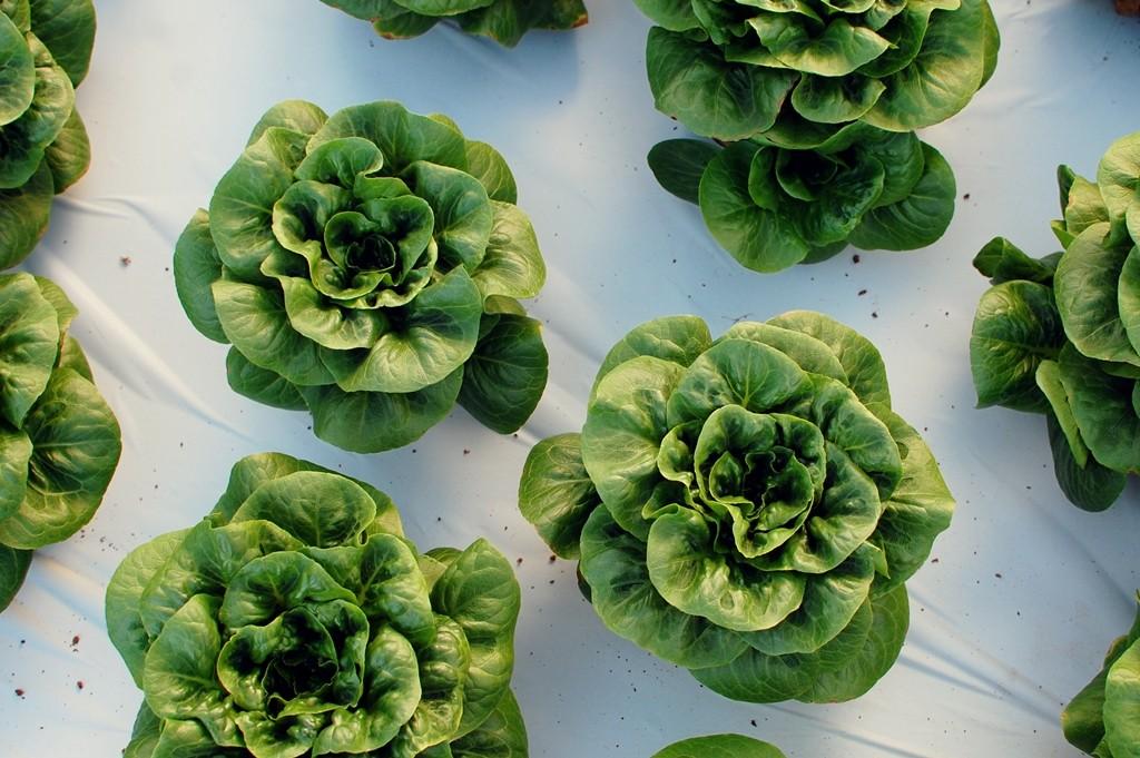 Aquaponic Lettuce (Photo Credit: Megan)