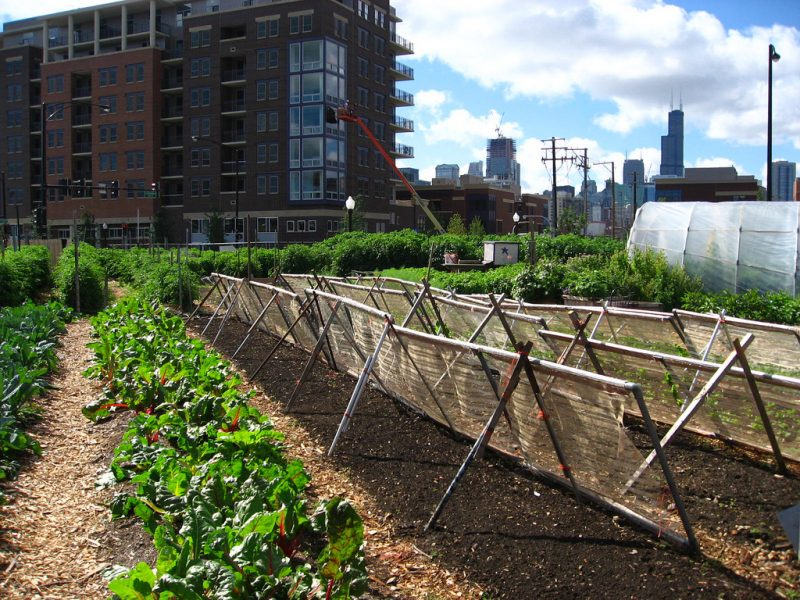 New crops are planted with shade cloth barriers at City Farm in Chicago. The 1.5 acre area is owned by the city and provided rent-free as a community garden space. Urban farming can provide a range of health and community benefits. (Photo Credit: Linda)