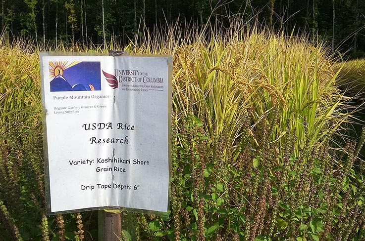Koshihikari rice growing on Firebird Farm. Photo (CC BY-SA): Erik Assadourian.